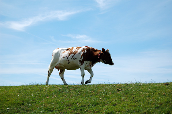 Cow on a Dike