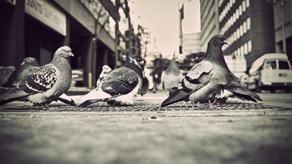Pigeons' City