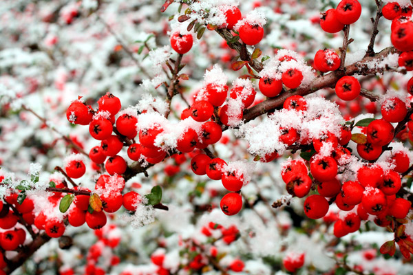 Snow and berries